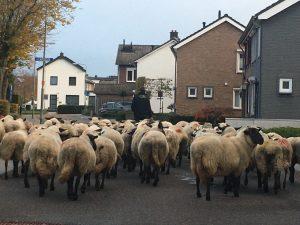 Schaapsherder onderweg naar Hubertusmarkt Gulpen